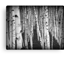 Silver Birch Trees Canvas Print