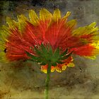Blanket Flower Wildflower by MotherNature