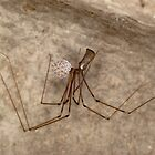 Female daddy long legs spider with eggs  by Kawka