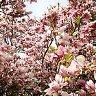 Cherry tree in spring by freshairbaloon