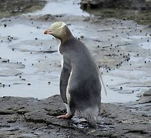 Yellow Eyes penguin by 29Breizh33