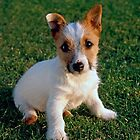 Jack Russell Puppy by Kawka
