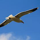 Seagull by srhayward