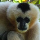 gibbon-adelaide zoo by JAMES LEVETT