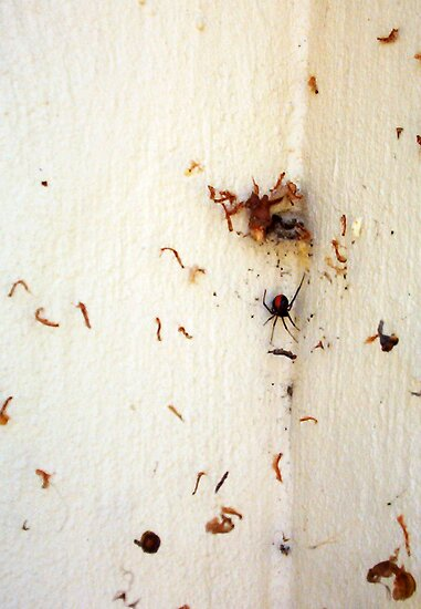 Redback Spider - 22 12 12  by Robert Phillips
