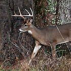 Cades Cove Buck by photodug