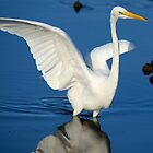 Blue and White  (Great White Egret) by imagetj