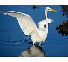 Blue and White  (Great White Egret) Photographic Print