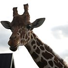 Friendly Giraffe by ajwalters