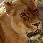 Lion by ajwalters