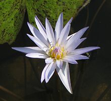Waterlily, Kenilworth Aquatic Garden by Kelly Morris