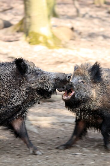 fighting wild boars by derausdo