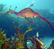 Weedy Seadragon by peterperry