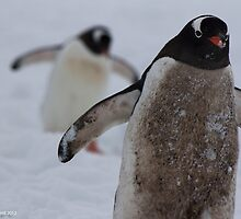 Penguin 005 by Karl David Hill