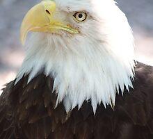American Bald Eagle by Brad Sumner