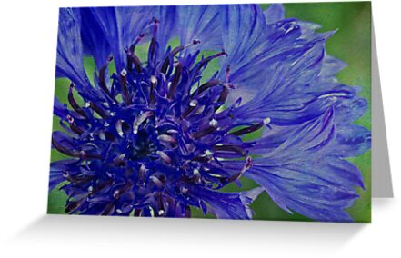 Cornflower so blue by Celeste Mookherjee