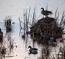 King (or Queen) Of The Castle In Cranberry Marsh by Gary Chapple