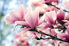 Heavenly Magnolias by Gene Walls