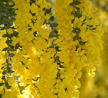 Brilliant Wattle by Helen Greenwood