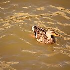 Duck in the Fall Water by Steph Peesker