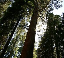 Sequoia Silhouette by Michael Kirsh