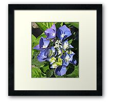 Blue Lace Cap - Hydrangea Blossom Framed Print