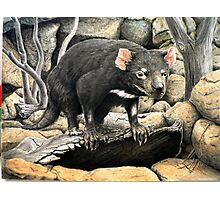 Tasmanian Devil (Sarcophilus harrisii ) Photographic Print