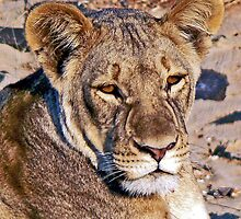 Lioness Portrait by Graeme  Hyde