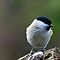 Marsh tit by Franc Wiedenhoff