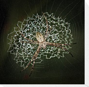 Spider in web by jimmy hoffman