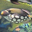 Clown Triggerfish by Dawne Dunton