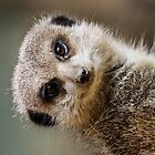 Ipad case - meercat 1 by Lee Rolfe