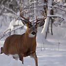 Male deer - Buck - Ottawa, Canada by Josef Pittner