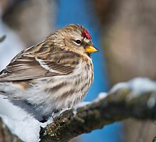 Common Redpoll by Michael Cummings