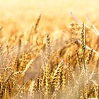 british summer cornfield by geoffford