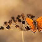 Fiery Copper (Thersamonia thersamon) butterfly.  by PhotoStock-Isra