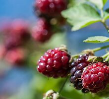 Holy Bramble Blackberries on a bush  by PhotoStock-Isra