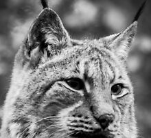 A Lynx by drawwithlight