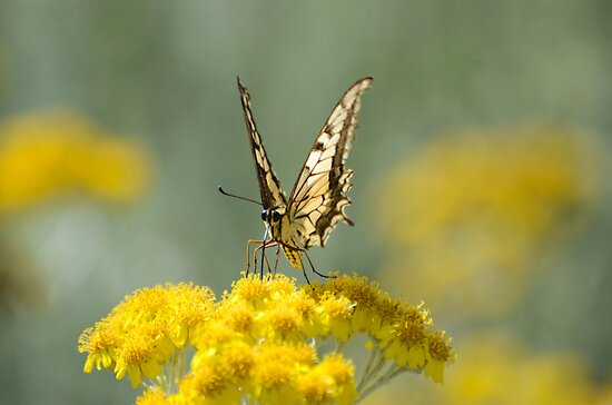 Old World Swallowtail (Papilio machaon) Butterfly by PhotoStock-Isra