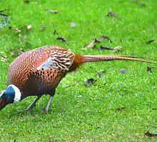 Pheasant In The Garden by lynn carter