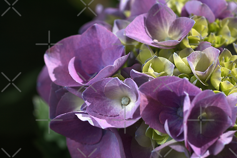 Shades of Hydrangea  by Joy Watson