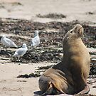Australian Sea Lion, Penguin Is. W.A.  by Margaret Stanton