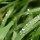 water drops on a blade of grass by PhotoStock-Isra