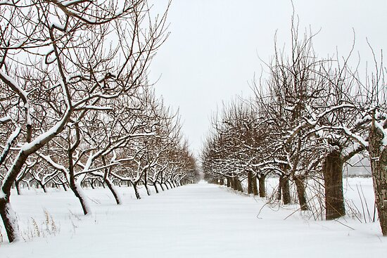 The Winter Orchard - I by Marilyn Cornwell