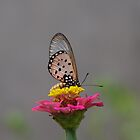 Butterfly by Annabella
