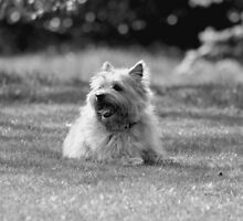 Angus by Colin Shepherd