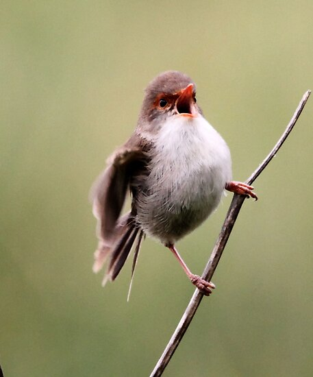 Fairy Wren, Singing Her Heart Out by Kym Bradley