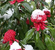 Snow on Waratahs by PenguinSands