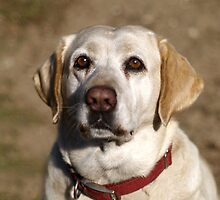 yellow lab by canon50d3