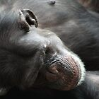 Chimpanzee by PenguinSands